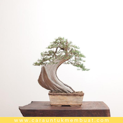 Bonsai Juniperus Californica 3