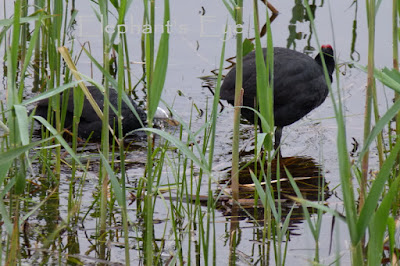 Pair of Red-knobbed Coot