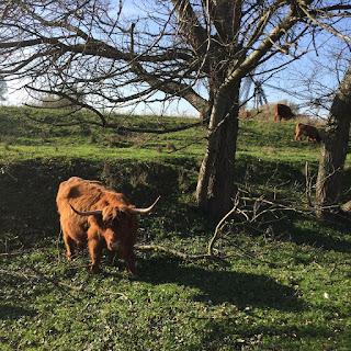 geocaching rozenburg schotse hooglanders grote grazers
