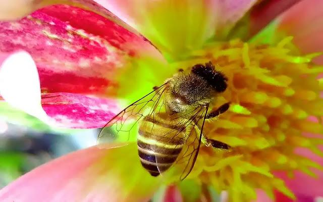 bee, bee honey, honey, عسل مانوكا, النحل, شطة نيوز, حبوب اللقاح, فوائد حبوب اللقاح, ملكة النحل, النحلة, انواع النحل, معلومات عن النحل