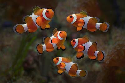 Habitat Ikan Clownfish
