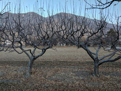 Two Apple Trees Planted Too Close To Each Other