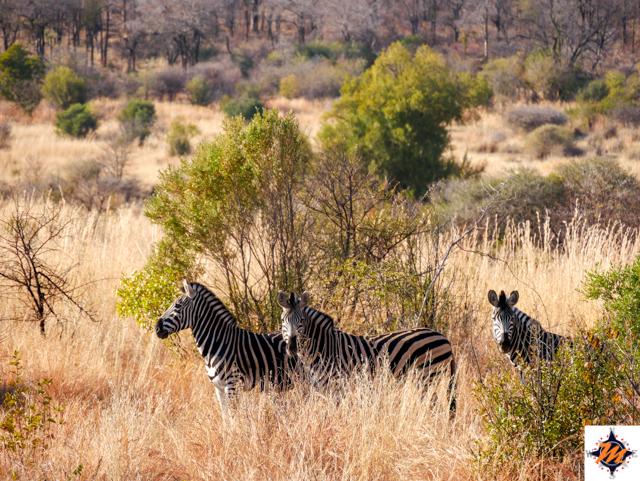 Pilanesberg National Park, zebre