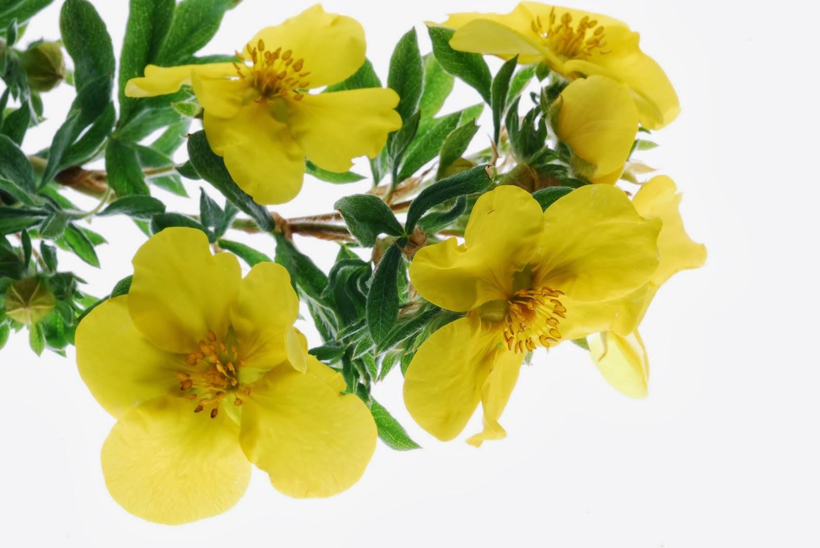 Evening Primrose - The Cure For Atopic Dermatitis