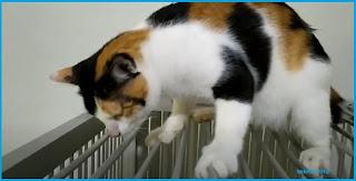 Kucing mitos kembang telon pejantan