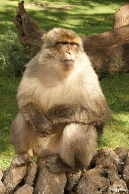 I macachi di Barbarie abitano la Foresta delle Scimmie di Rocamadour