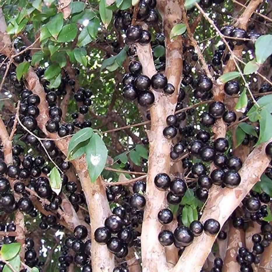 Bibit Anggur Pohon Brazil JABOTICABA Jambi