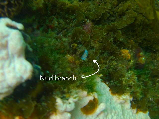 Nudibranch as spotted snorkelling in Simon's Town