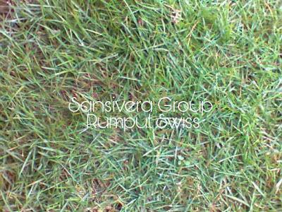 Rumput Swiss Rumput Taman