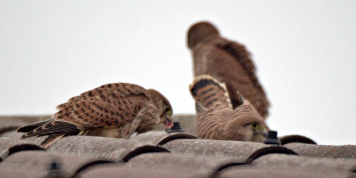 Kleine Fotoserie: Ein Jungfalke lernt das selbstständige Fressen (12) - Ende der Serie