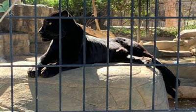 Permalink to Panjat Pagar Penghalang Kebun Binatang untuk Selfie, Wanita Diserang Jaguar