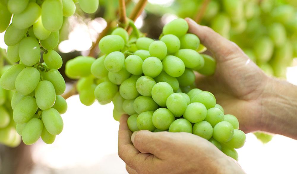 Manfaat Makan Buah Anggur Setiap Hari