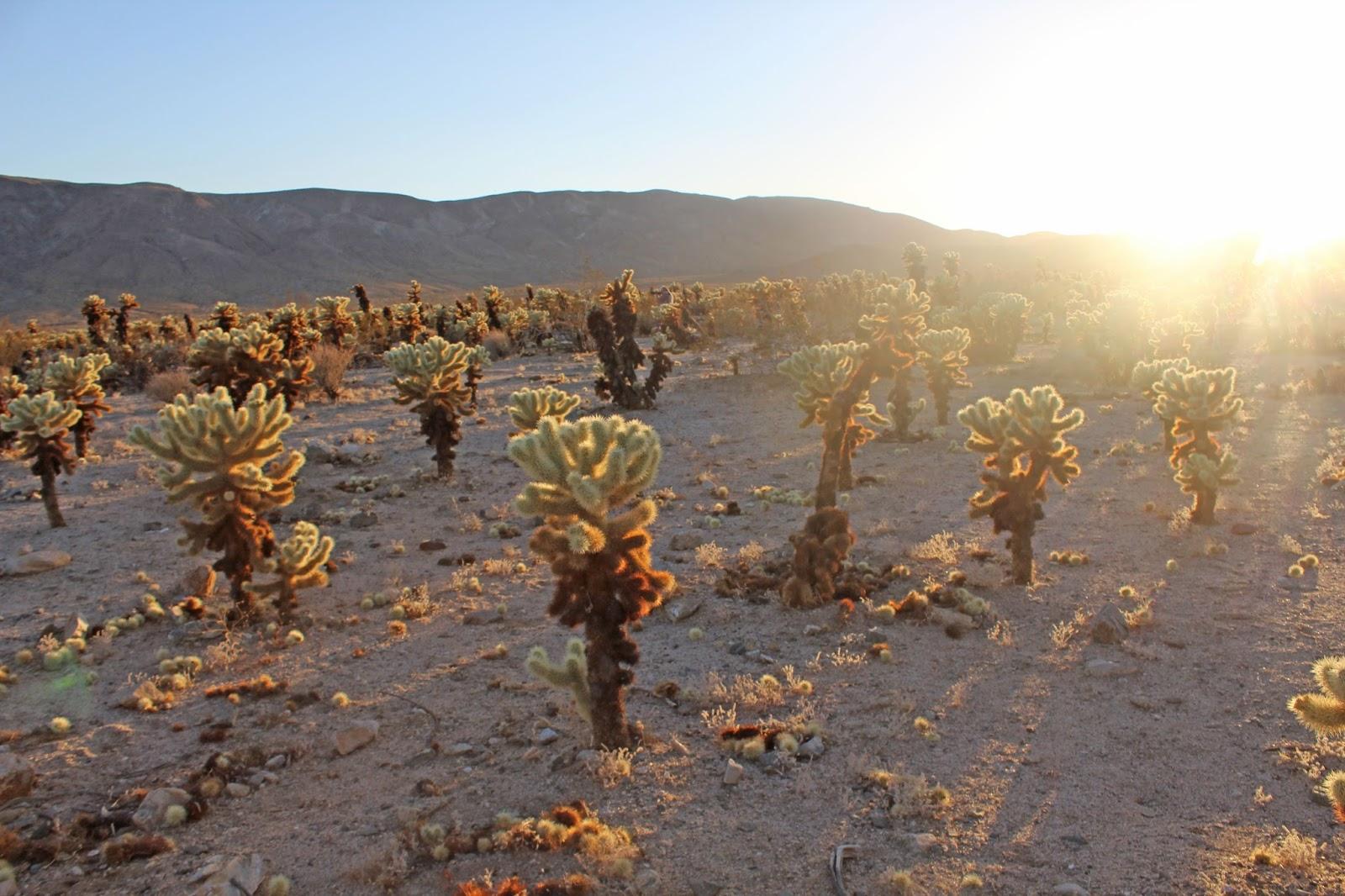 cholla cactus garden sunset 1