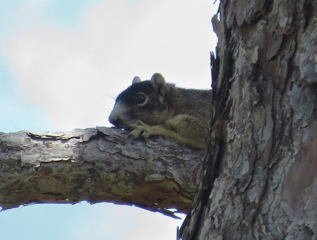 Sherman's Fox Squirrel - Joe Overstreet Road, Florida