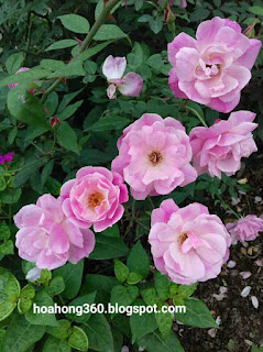 hoa hồng quế kép