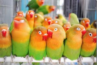 Cara-Ternak-Lovebird-Bagi-Pemula