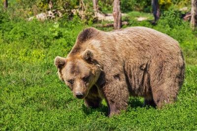 Fogakkal és karmokkal, eurázsiai ragadozók, barnamedve