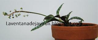 planta-ledebouria-socialis