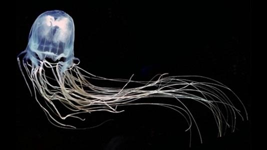 Kutu Denizanası Özellikleri - Hakkında