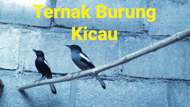 breeding burung kicau