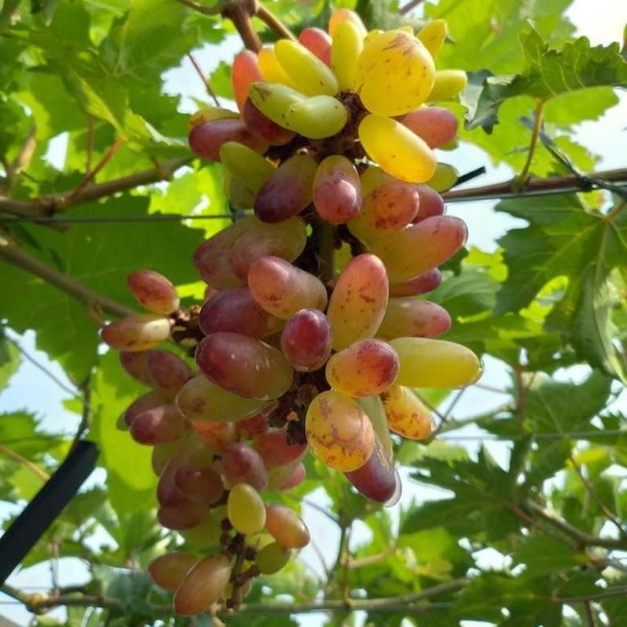 Bibit anggur Oscar VALID Jawa Barat