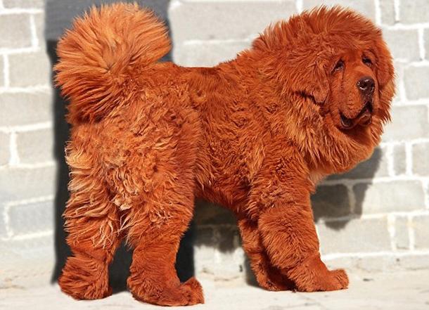 Tibetan Mastiff Baka Anjing Paling Mahal Di Dunia,