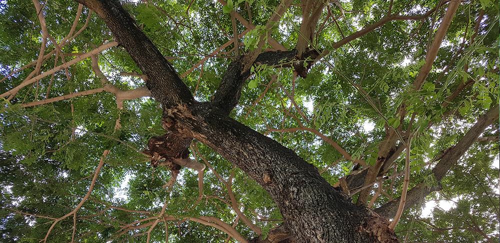 กิ่งก้านของต้นก้ามปู