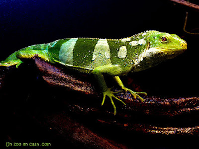 Iguana bandeada de Fiji (Brachylophus fasciatus)