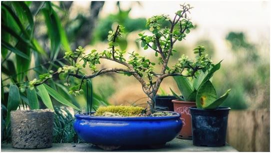 Bonsai de supermercado em um vaso azul