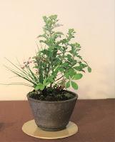 山野草盆栽 イトラッキョウ イソギク ユキシロキンバイ