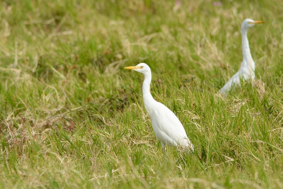 Veisehaigur, Bubulcus ibis coromandus, Eastern Cattle Egret, haigur