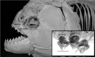 Mandíbula Megapiranha paranensis