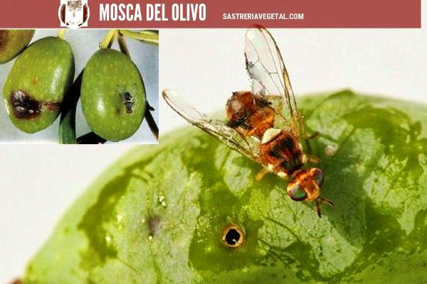 Los daños que provoca la mosca del olivo no es solamente al fruto sino en la tierra cuando este cae del árbol aumentando los niveles de acidez