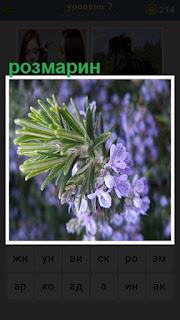 цветет розмарин голубыми листьями и зелеными веточками