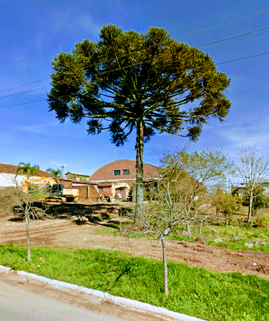 A foto mestra uma linda araucária árvore em extinção no Sul do Brasil.