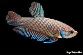 Ikan Cupang Spesies Betta Smaragdina Betina