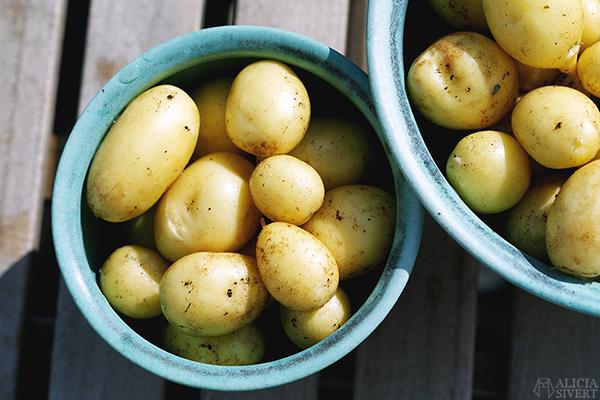 odla potatis på balkong i hink aliciasivert alicia sivert odling balkongodling