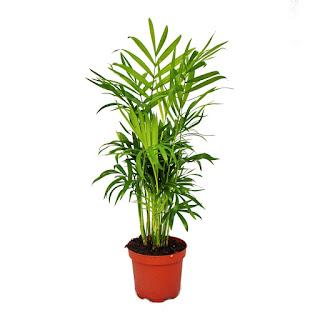 Mountain palm