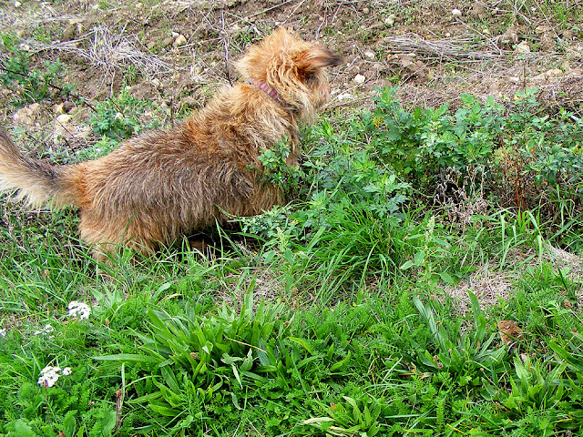 Terrier hunting voles in a ditch, Indre et Loire, France. Photo by Loire Valley Time Travel.