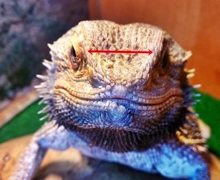 Unhealthy bearded dragon