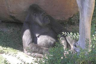 Gorila del biopark de Fuengirola.