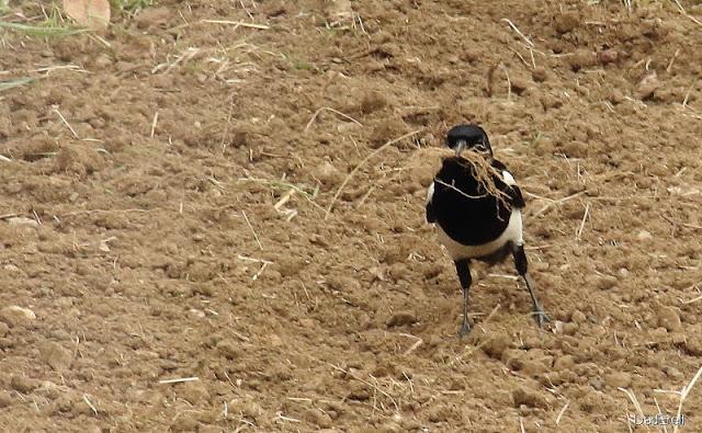 Une pie collecte des brindilles pour faire son nid