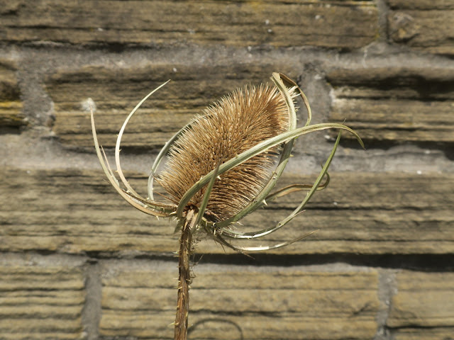 Teasel head with small fluffy white seed attached to spike in front of wall. July 12th 2020