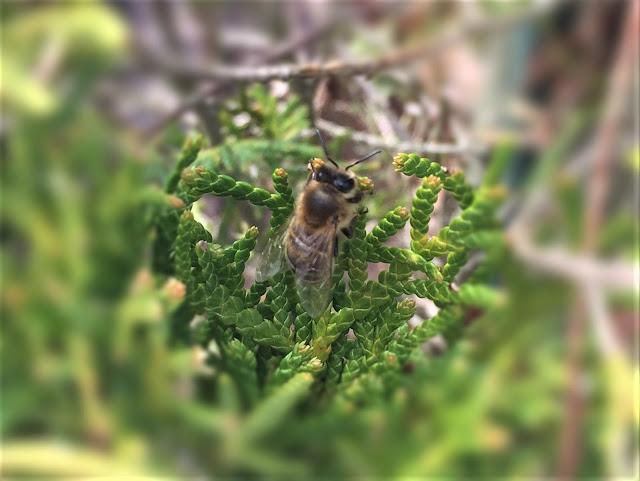 Biene auf Thuja