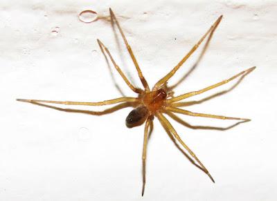 Araña de los rincones (Loxosceles laeta)