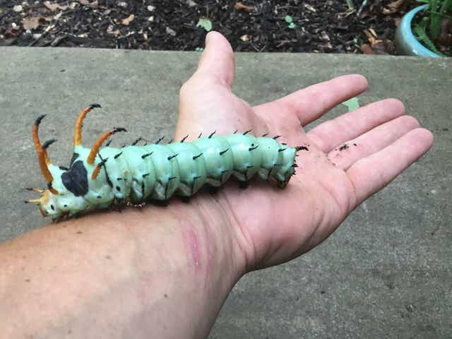 Hickory Horned Devil. Largest caterpillar in the world, and is completely harmless except visually terrifying.