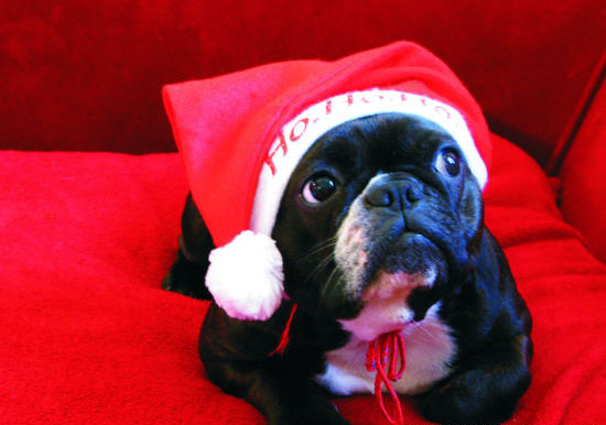 Funny dog in a Christmas cap
