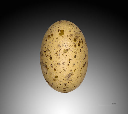 spotted sandgrouse (Pterocles senegallus) egg