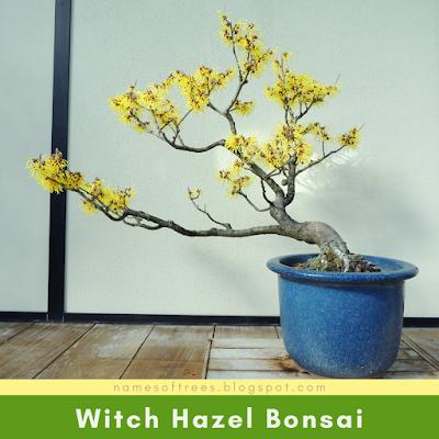 Witch Hazel Bonsai