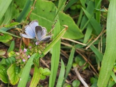 ผีเสื้อสีน้ำเงินมีสีซีด(Pale Grass Blue Butterfly)